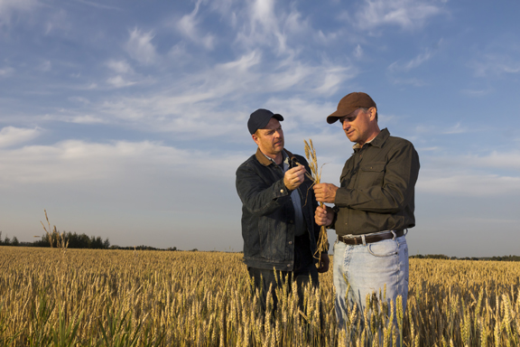 Two farmers inspecting wheat