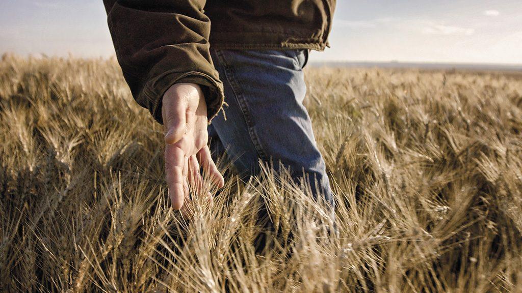 Farmer in field of wheat